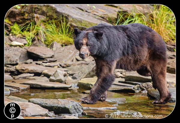black bears in ketchican alaska