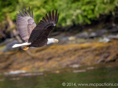 bald-eagle-alaska