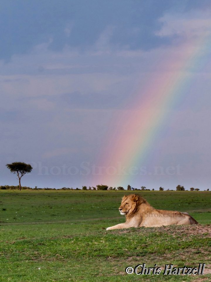 Lion image - copyright right, watermarks over rainbow and lion