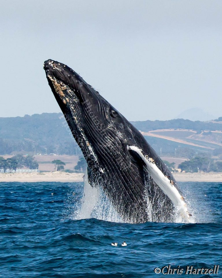 Humpback Whale breach - copyright right, watermarks angled over the whale