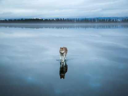 Huskies on water