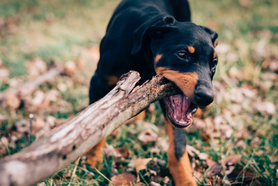 photo of dog with stick
