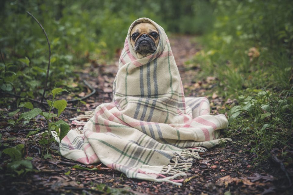 picture of pug in blanket